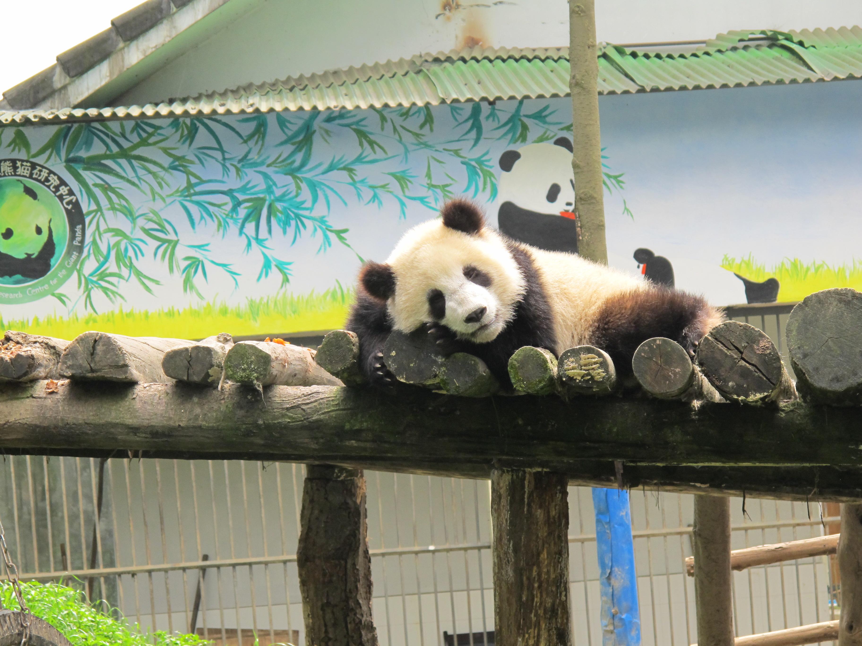 5cc685b8dcc312 Kako je biti volonter u kineskom Centru za pande - XXZONA